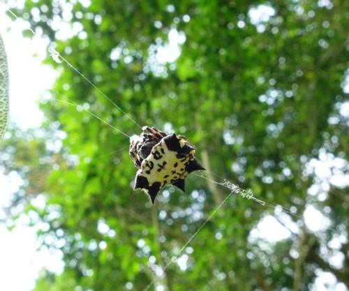 正在結網的古氏棘蛛。(林育綺攝)