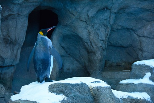 King Penguin at the Calgary Zoo by photo_giant