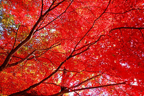 Autumn Leaves of Japanese Maple / 紅葉