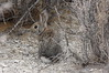Mountain Cottontail (Sylvilagus nuttallii). Oct 9, 2013. Mono Lake, Mono Co., CA