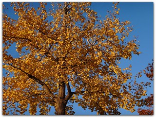 """Ginkgo leaves turn a golden color during the Fall Season."""