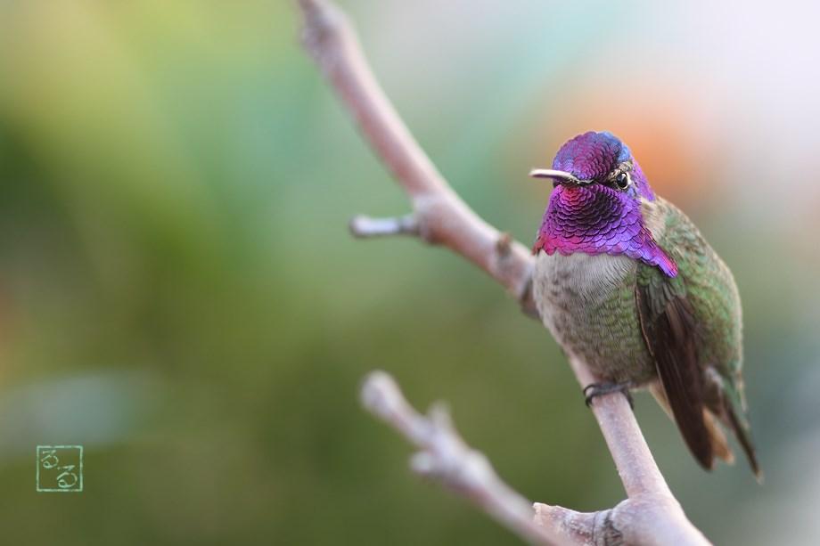 Costa's X Anna's Hummingbird 122513