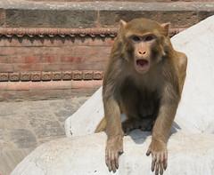 Małpa w Kathmandu