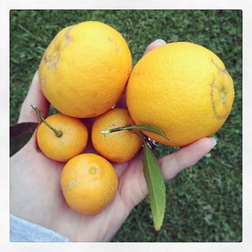 #eatfoodphotos Jan 7 | #needmore - oranges, from an orange tree instead of from a store.