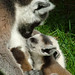 Primate Conservation: Lemurs