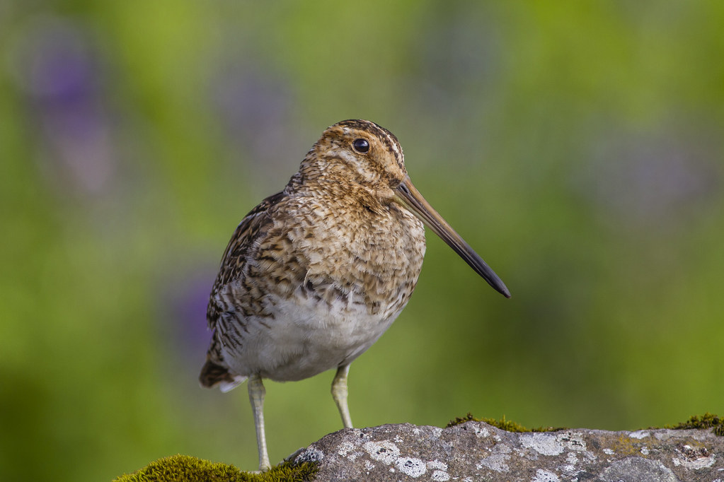 Hrossagaukur / Common Snipe