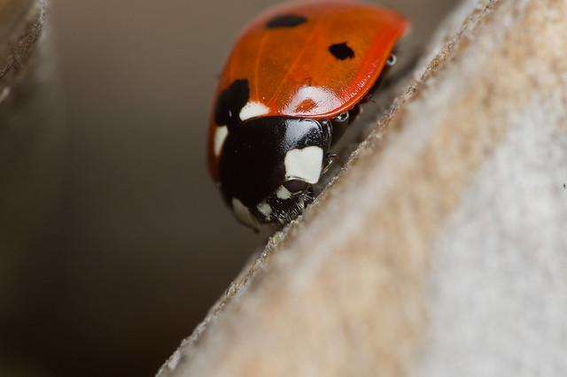 76: Seven-spot Ladybird