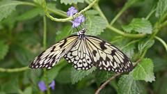 cabbage butterfly(0.0), monarch butterfly(0.0), arthropod(1.0), pollinator(1.0), animal(1.0), moths and butterflies(1.0), butterfly(1.0), flower(1.0), invertebrate(1.0), fauna(1.0),