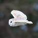 Barn Owl by vlad259