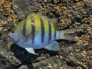 silver hatchetfish