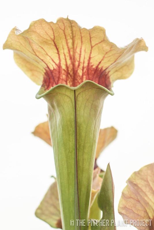 Sarracenia catesbaei x flava