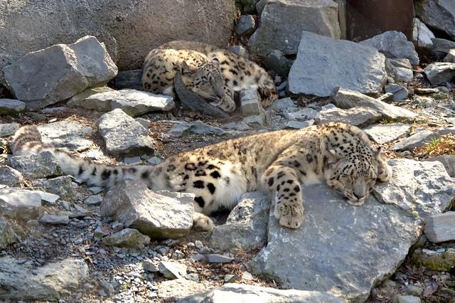 Snow Leopard Naps
