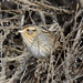 Small photo of Nelson's Sparrow (Ammodramus nelsoni)