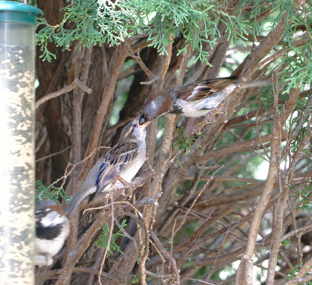 Parent Feeding Young House Sparrow 1