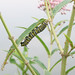 Monarch Caterpillar on Swamp Milkweed by dmills727