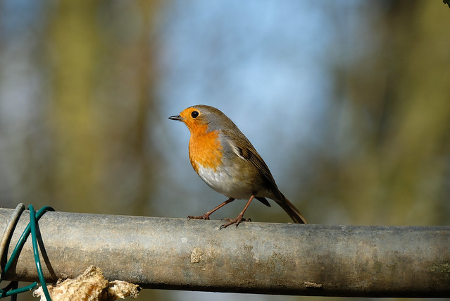 Robin at bird feeders Tophill Low