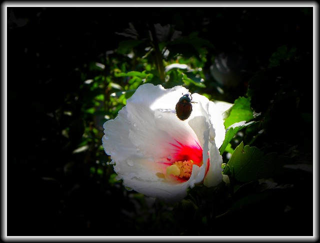 Sonnenberg Gardens & Mansion Historic Park ~ Canandaigua NY ~ Flower with a Bug
