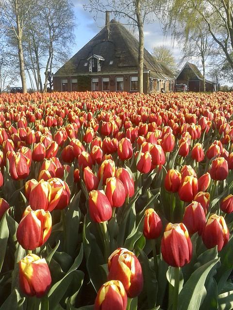 Rode tulpen tuin