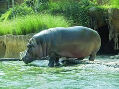 Memphis Zoo 08-31-2016 - Hippopotamus 5