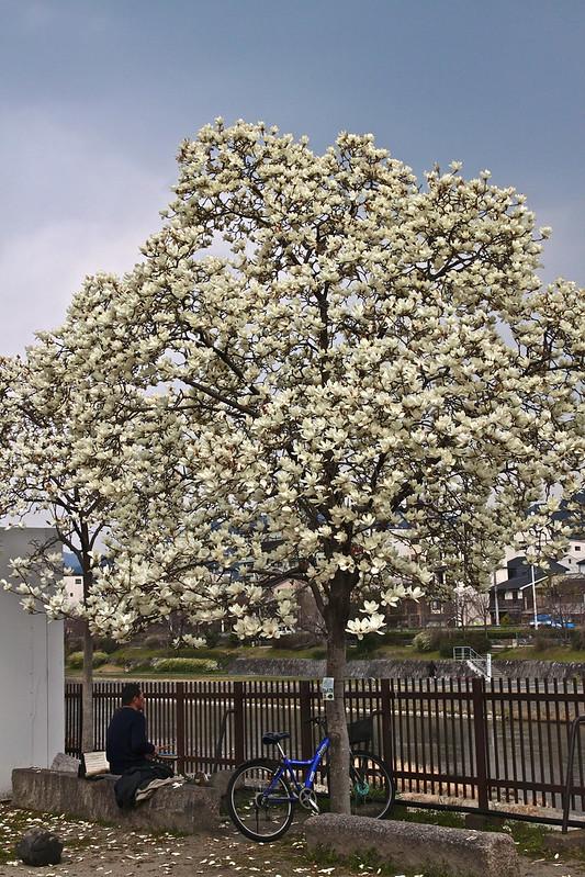 一棵開花的樹