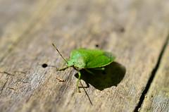 A Bug that looks like a leaf.