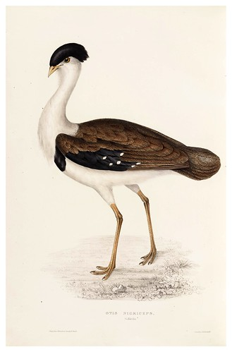 013.Otis Nigriceps-A Century of Birds from the Himalaya Mountains-John Gould y Wm. Hart-1875-1888-Science Naturalis