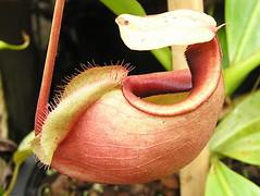 N. mirabilis var. globosa