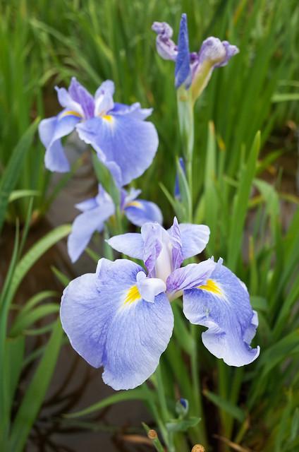 Iris, Closeup