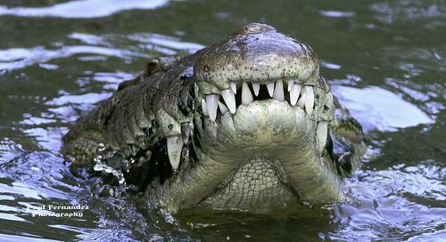 zoo florida crocodile brevard americancrocodile brevardzoo crocodileamerican