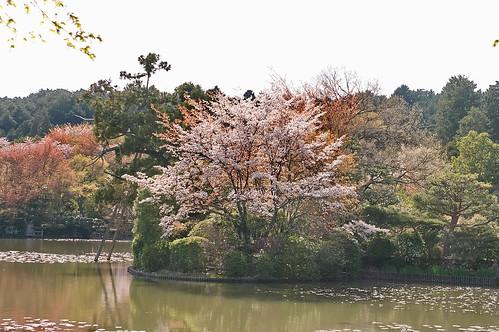 【写真】2013 桜 : 龍安寺/2020-01-22/IMGP9832