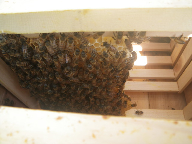 the bees attached the broken comb to the frame