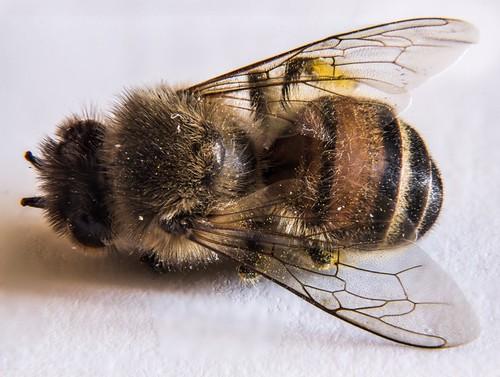 Обнаружена причина массовой гибели пчел