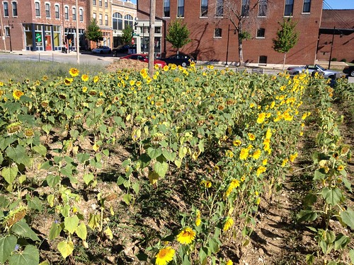Another view of electrified sunflowers towering over the rest of the field