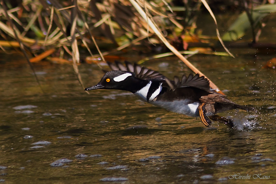Hooded Merganser 052813-08