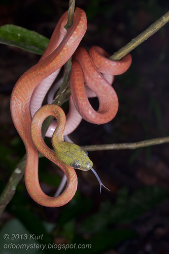 Black Headed Cat Snake (<i>Boiga nigriceps</i>) IMG_0190 (2) copy