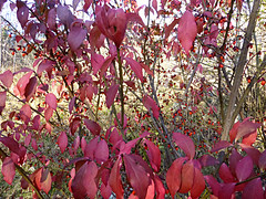 Burning bush 2