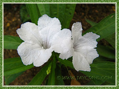 Ruellia brittoniana 'White Katie' (Dwarf White Bells, White Katie Ruellia, Dwarf White Ruellia), 13 Sept 2013