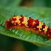Morpho Caterpillar (Morpho antimachus) ©berniedup