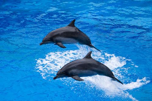 海豚真的很美, 尤其是跳上水面的那一刻