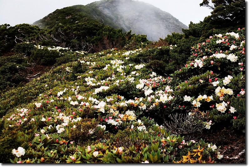 聖稜上盛開的杜鵑 1