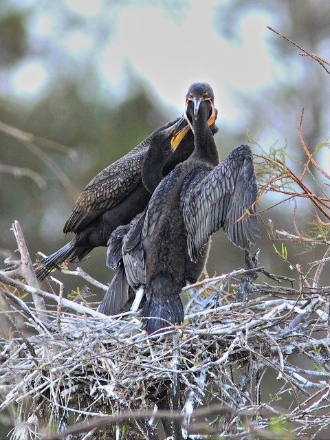 Double-crested Cormorant feeding chicks 02-20131210