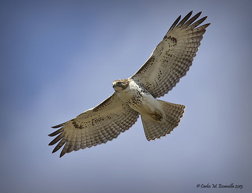 Red-tailed Hawk IMG_8167edtvg