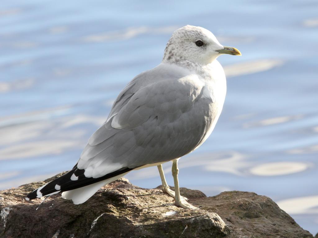 Фотография 'Сизая чайка'