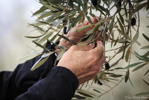 Cogiendo olivas...
