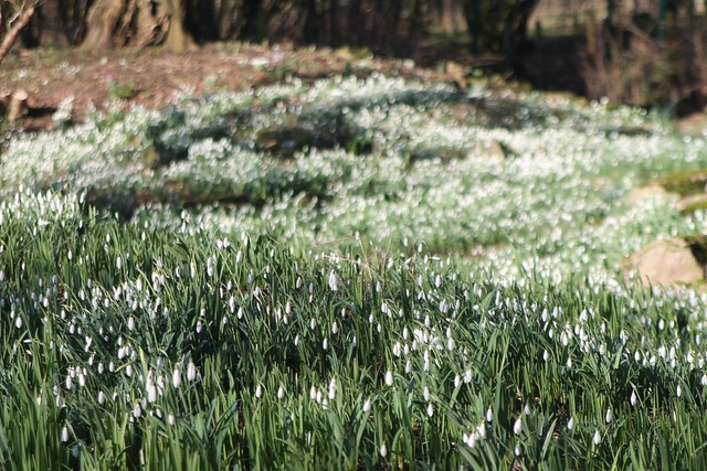 Snowdrops at Myddleton House Garden