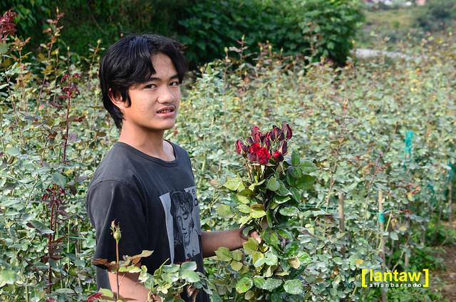 Bahong - Rose Harvester