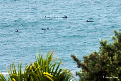 Dolphins close to the beach
