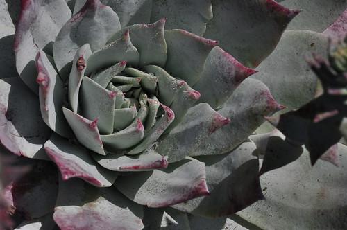 Dudleya pulverulenta, Los Osos, CA by aviac
