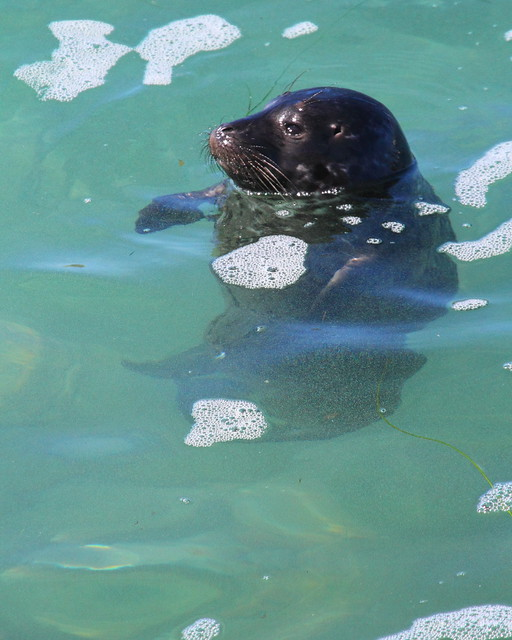 IMG_2539 Harbor Seal Pup Bottling