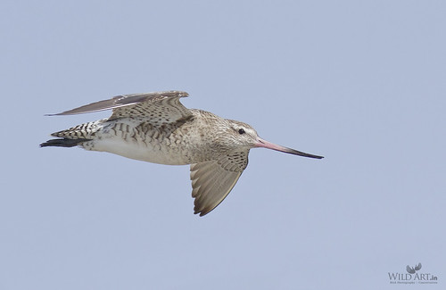 Bar-tailed Godwit (Limosa lapponica) in flight